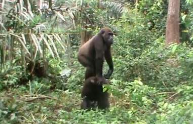 Gorilla best friends playing at sanctuary in Africa