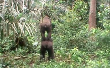Gorilla best friends horsing around in Africa sanctuary