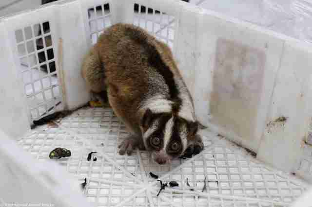 Slow loris trapped inside plastic box