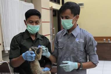 People nursing slow loris back to health