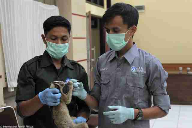 People nursing slow loris back to health