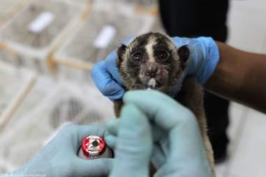 Rescued slow loris getting medicine