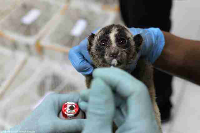 Rescued slow loris getting medicine