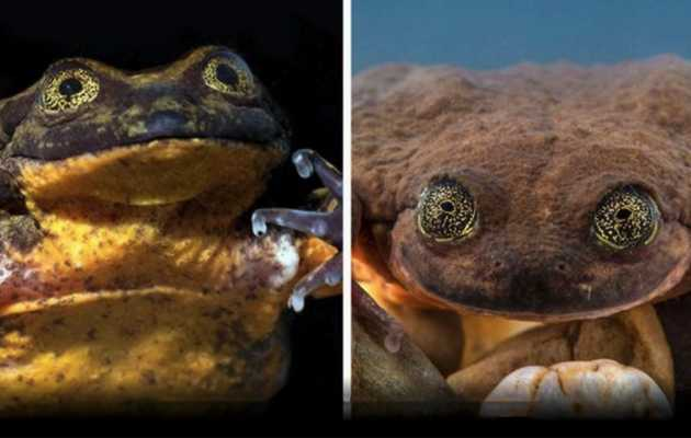 Romeo, the World's Loneliest Frog, Has Finally Found a Date After 10 Years
