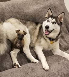 Tiny puppy cuddled up with husky dog