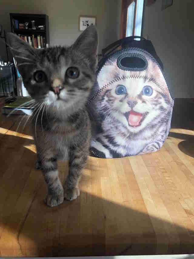lunch box kitten