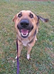 Smiling German shepherd dog