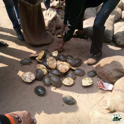 Turtles confiscated from wildlife traffickers