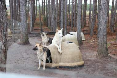 German shepherd dogs at puppy mill