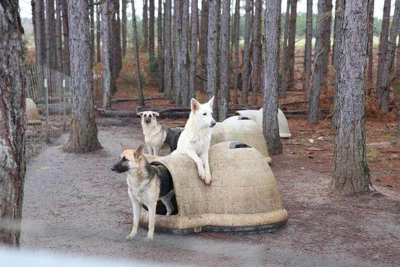 German shepherd dogs at puppy mill