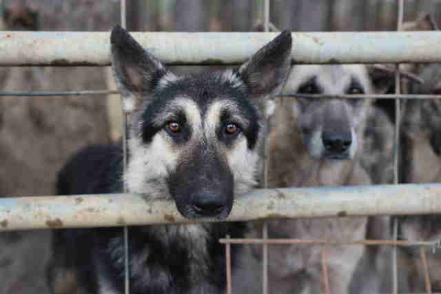 German shepherd trapped in filthy pen