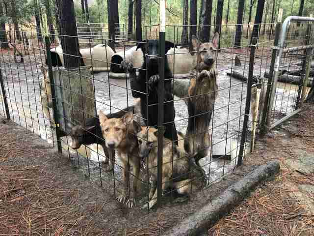 Hundreds Of German Shepherds Were Rescued From Georgia Puppy Mill