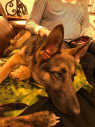 Rescued German shepherd in new home