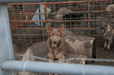 German shepherd in filthy pen