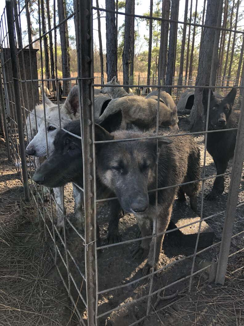 Desperate looking dogs trapped inside pen