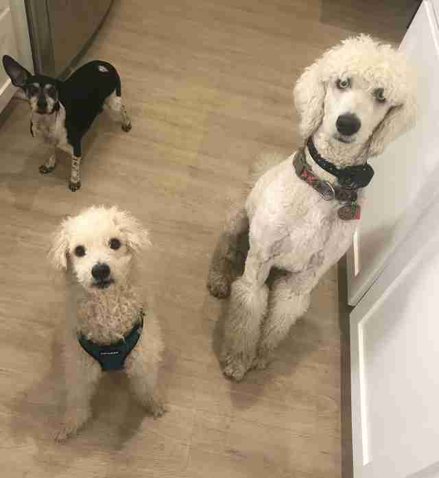 Taco the fospice dog and his poodle brother