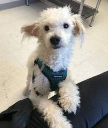 Taco the heartworm positive shelter dog meets his new mom
