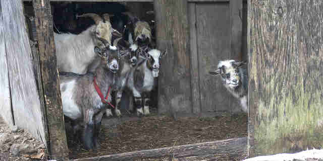 Goat Family At Nightmare Farm Always Hoped Help Would Come
