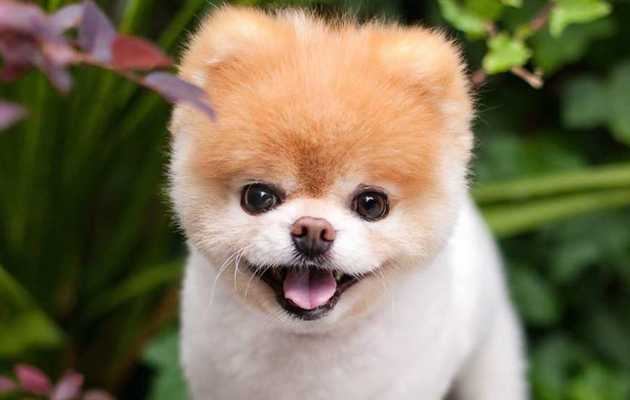 Boo, the 'World's Cutest Dog,' Has Gone to Dog Heaven