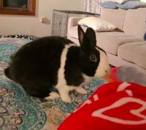 rabbit dutch rescue rabbit