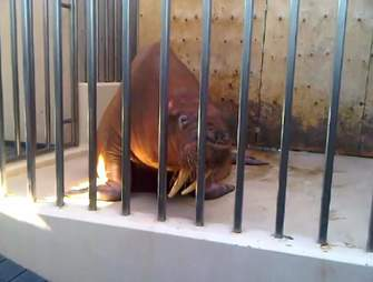 Skinny walrus behind bars at cage
