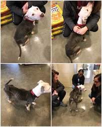 dog rescue pit bull skye