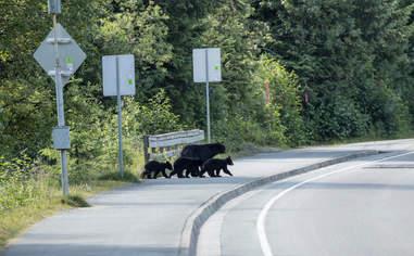 Wild black bear family crossing road in Alaska