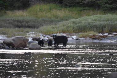 Black bear family in Alaska
