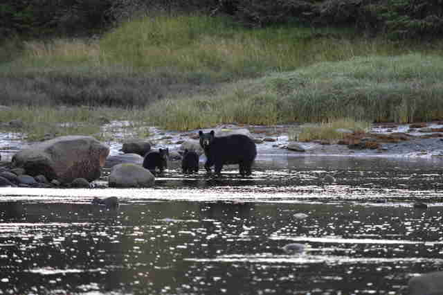 Black bear family in Alaska