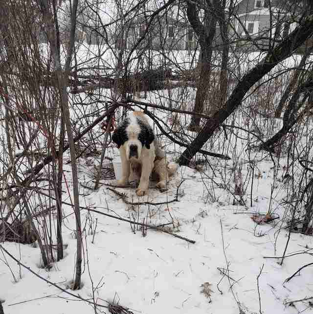 Senior Saint Bernard found in Minnesota woods