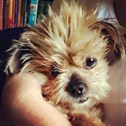 Shih Tzu dog cuddling up to woman