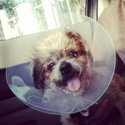 Smiling Shih Tzu after getting surgery