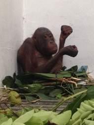 Orangutan in quarantine enclosure with leaves and fruit
