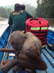 Orangutan sitting on back of boat