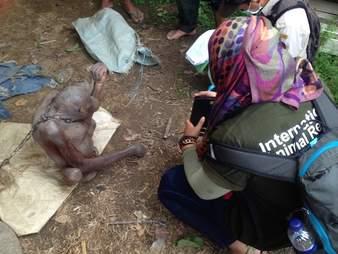 Rescuer ready to help starving orangutan