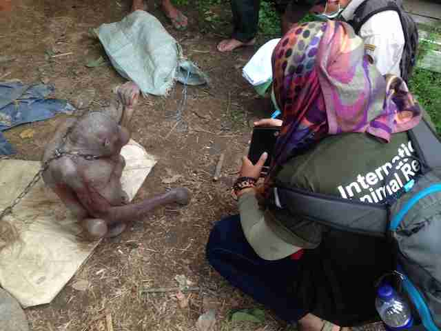 Rescuer ready to help starving orangutan