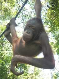 Healthy orangutan hanging from tree