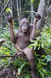 Orangutan sitting in tree