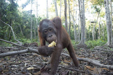 Rescued orangutan in forest eating something