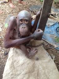 Skinny orangutan chained to outside of house