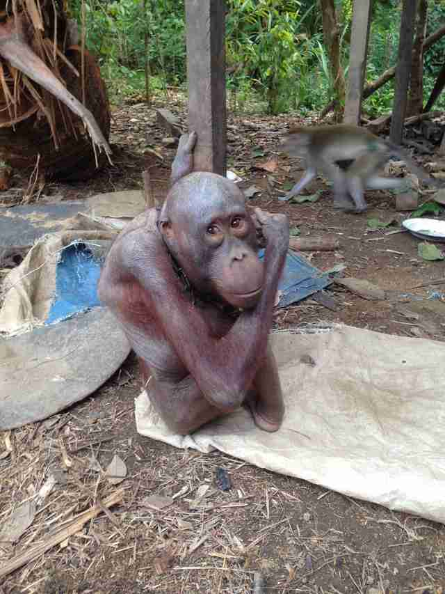 Skinny orangutan chained to house