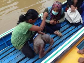 Orangutan on boat