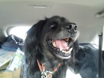 Smiling dog in car