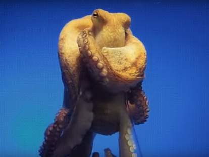 octopus escaping from jar