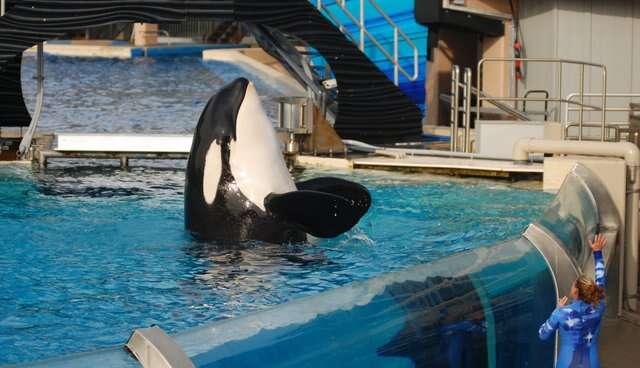 orca seaworld death