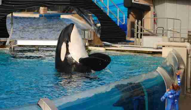 orca seaworld death