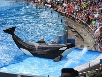 orca injury
