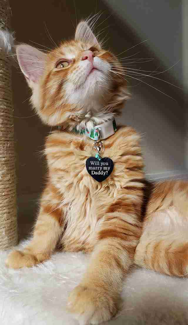 A kitten with an engraved name tag marriage proposal