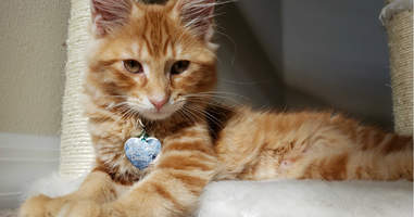Kitten with a marriage proposal on her collar