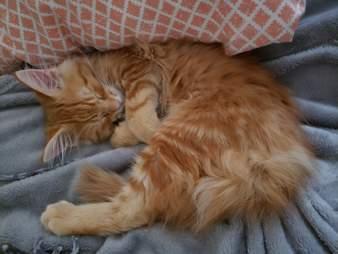 Ari, the orange tabby kitten at VOCAL cat rescue